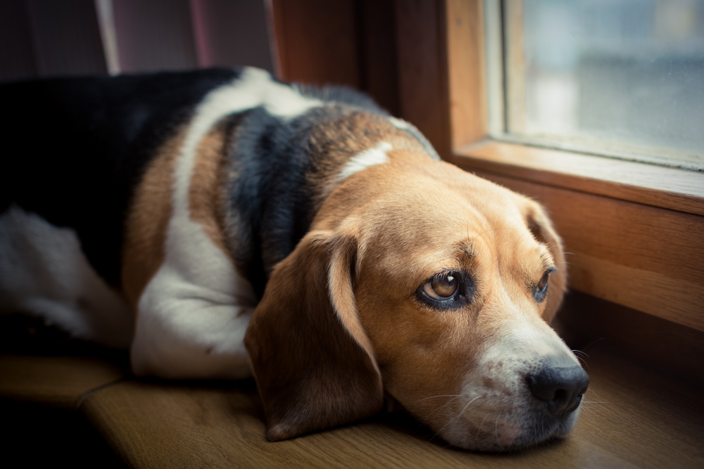 Beagle dog with Pet Illness needs care.