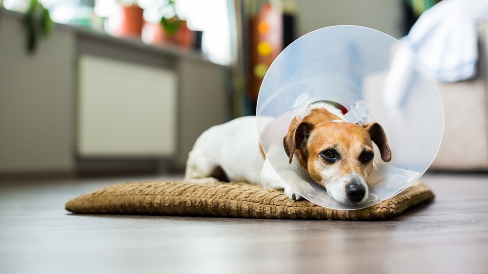 Dog at home with a cone, after pet surgery.